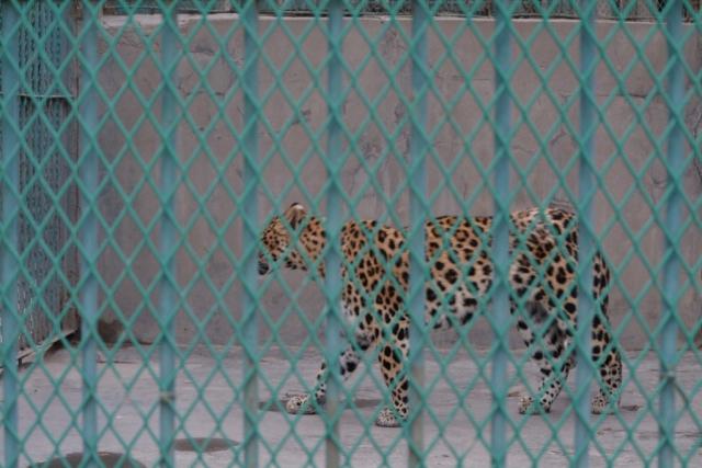 Lanzhou, Dierentuin, Jaguar, Backpackjunkies