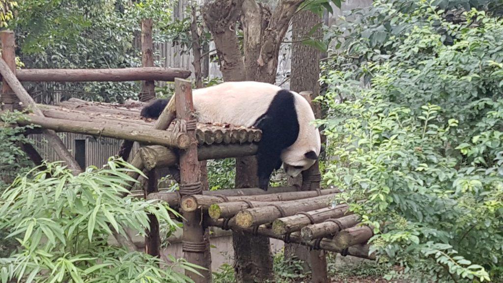 Goodbye China, Chengdu, Panda's