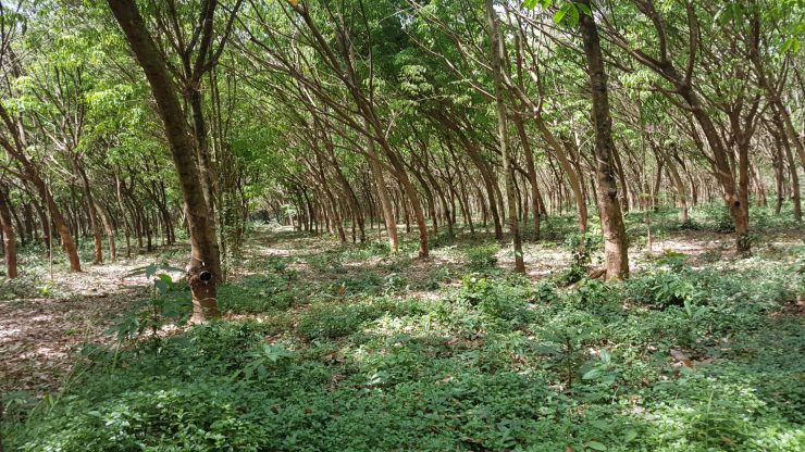Koh Mak, rubberplantage, Backpackjunkies