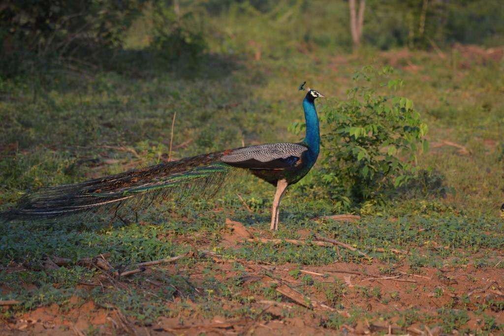 Udawalawe National Park, pauwen, Backpackjunkies