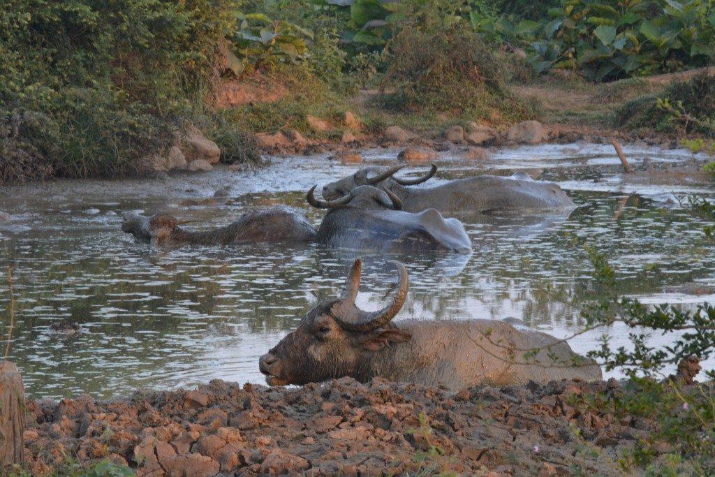 Udawalawe National Park, waterbuffels, Backpackjunkies