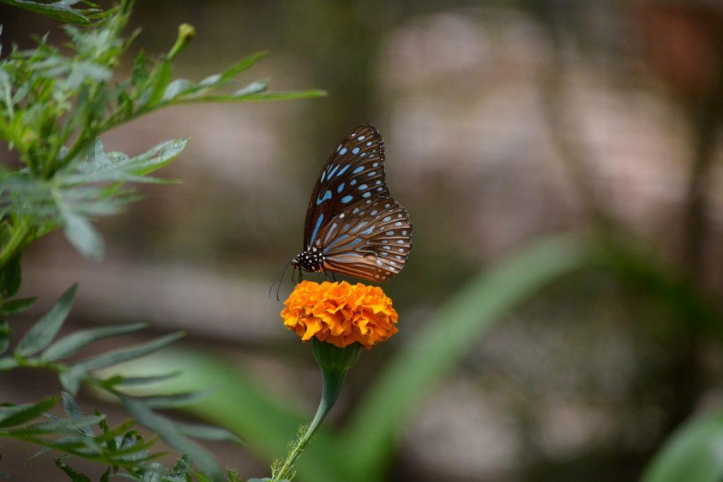 Cameron Highlands, Butterfly Garden, vlinders, Backpackjunkies