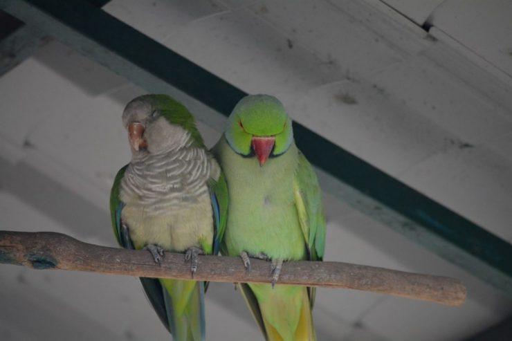 Kuala Lumpur Bird Park, love birds, dwergpapengaai, Backpackjunkies