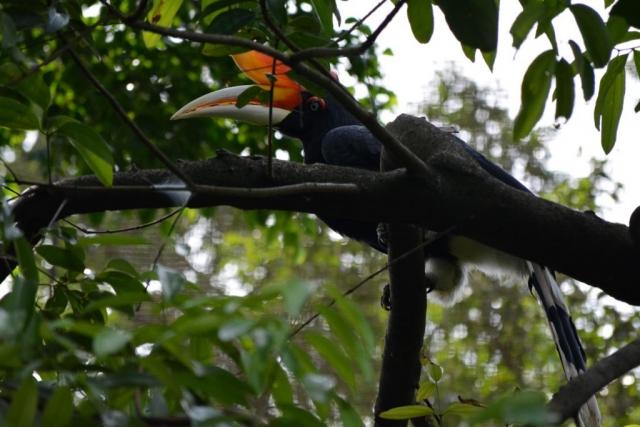 Kuala Lumpur Bird Park, neushoornvogel, Backpackjunkies