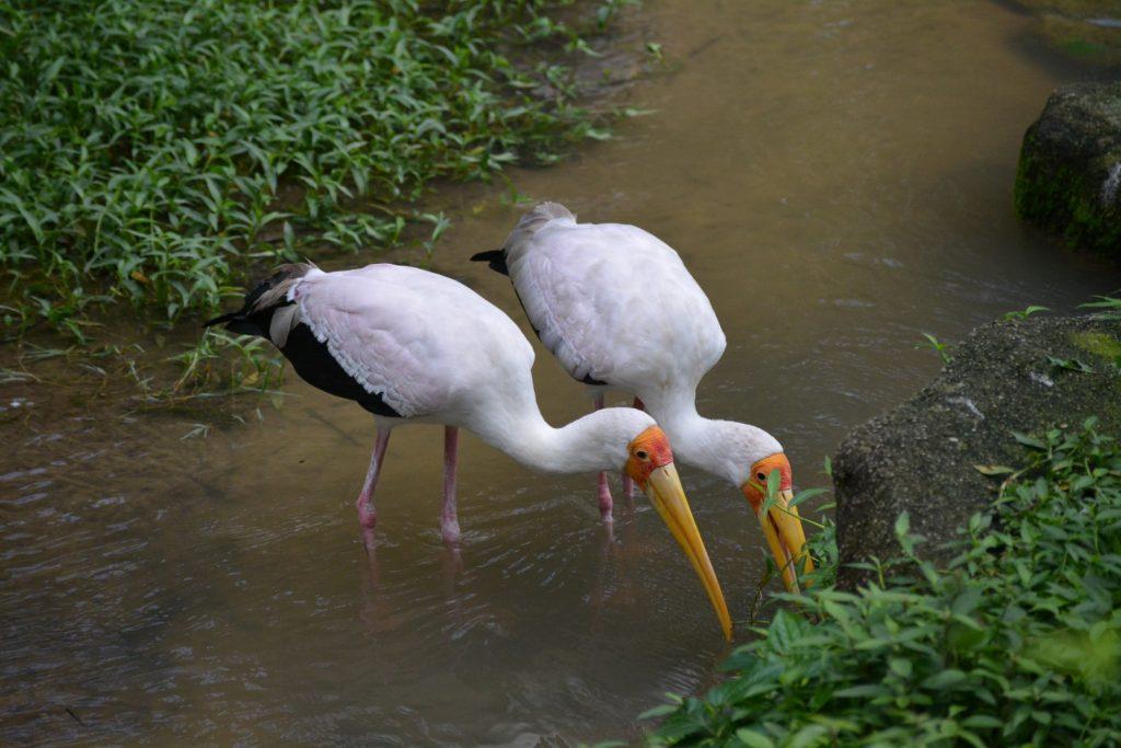 Kuala Lumpur Bird Park, ooievaars, Backpackjunkies