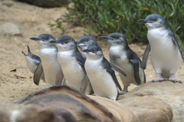Phillip Island - Pinguins 01 - BackPackJunkies