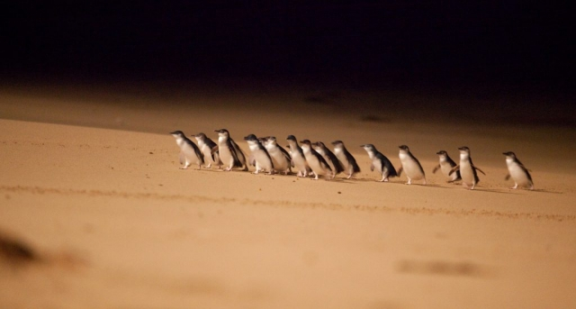 Phillip Island - Pinguins 02 - BackPackJunkies